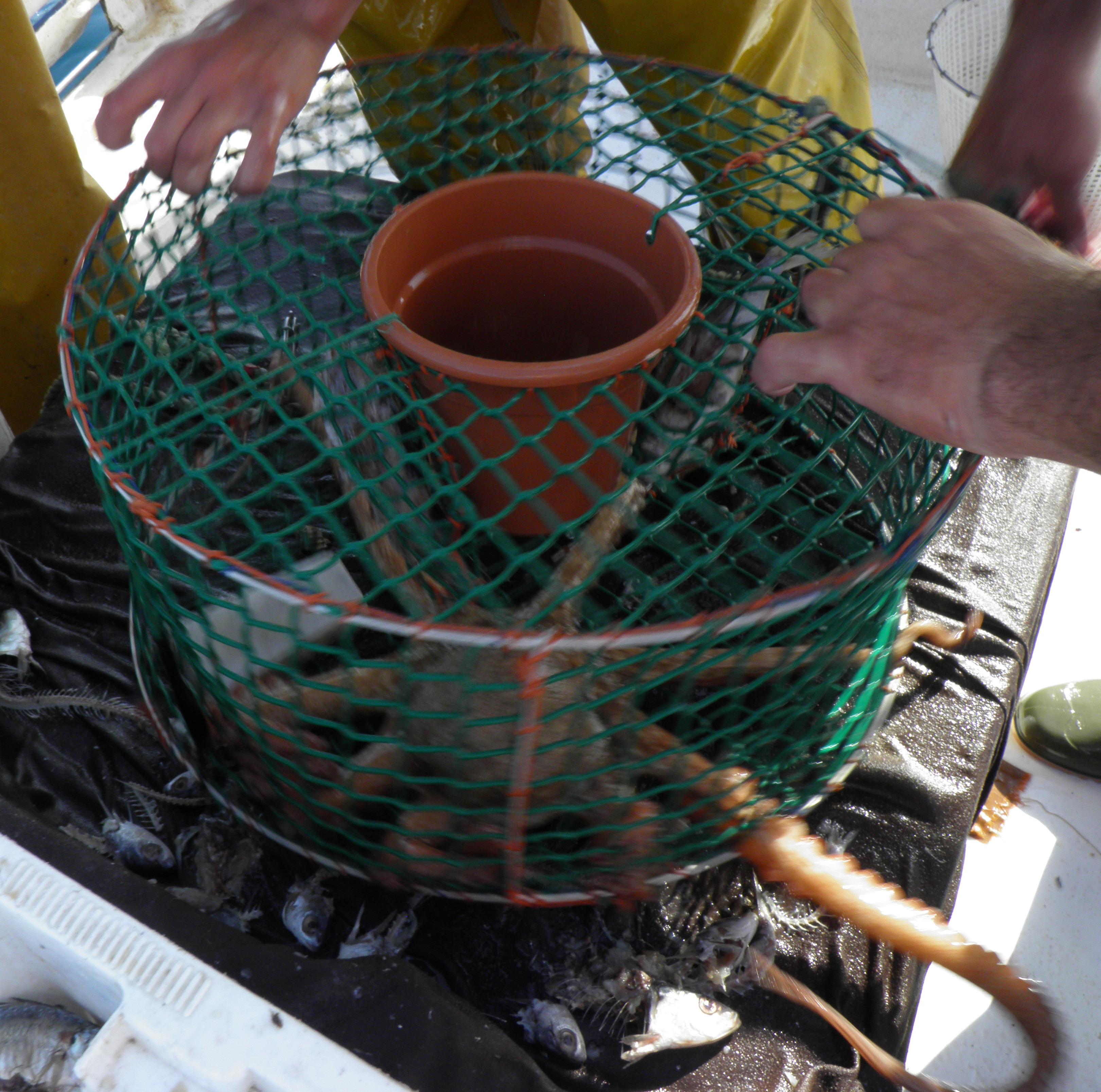 Pescando El Sabroso Pulpo Del Levante Almeriense Con