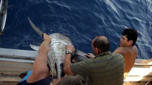 Recogiendo ejemplares de peces espada